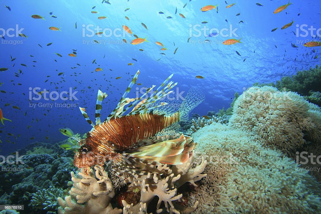 Lionfish in the Red Sea - Royalty-free Blue Stock Photo