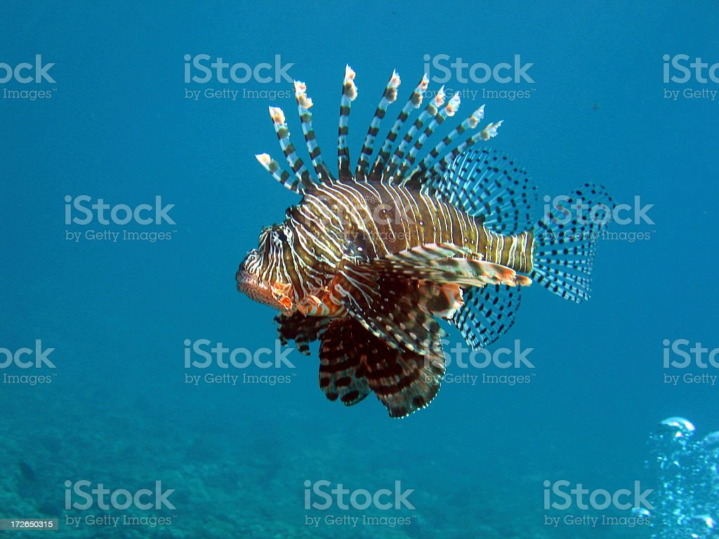 Lionfish leading the Bubbles stock photo
