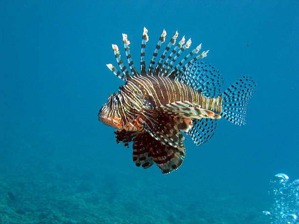 lionfish leading the bubbles - lionfish stock photos and pictures