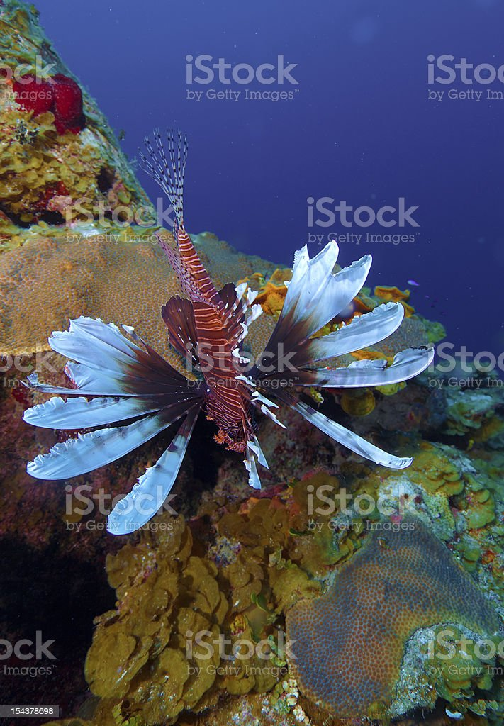 Lionfish (Pterois) near coral, Cayo Largo, Cuba royalty-free stock photo