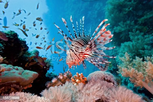 Lionfish on the coral reef in the red sea