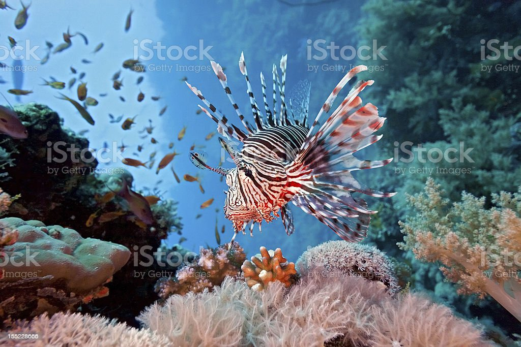 Lionfish on coral reef in Red Sea stock photo