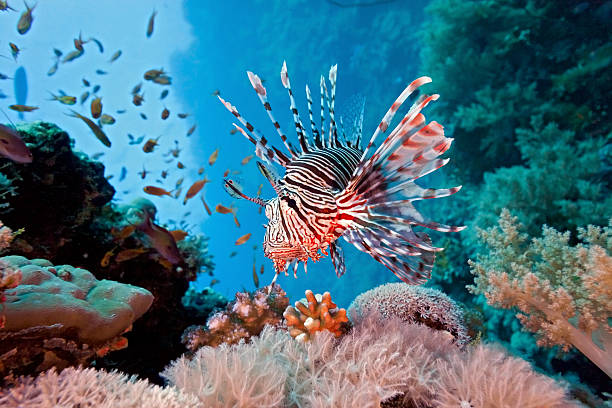 lionfish on coral reef in red sea - lionfish stock photos and pictures