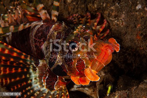Lionfish on coral reef salt water underwater