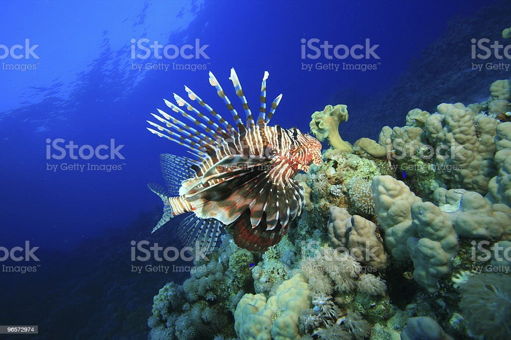 Lionfish on coral reef - Royalty-free Color Image Stock Photo