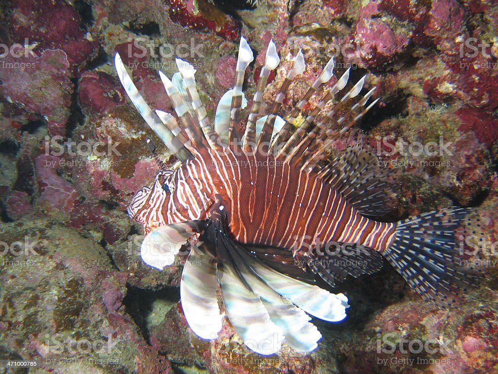 Lionfish Passes By royalty-free stock photo