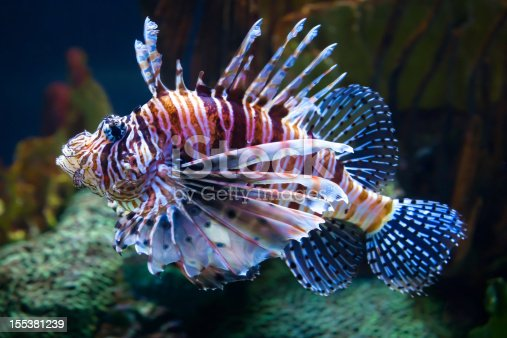 Lionfish swimming alongside a coral reef.