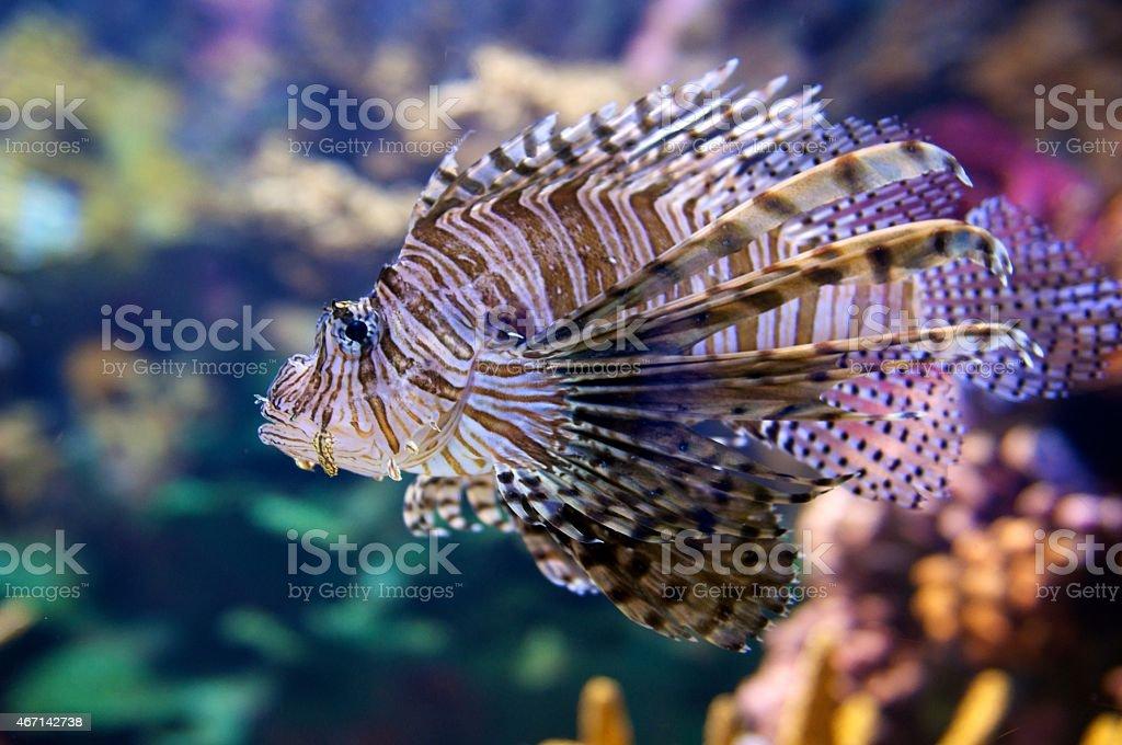 Rotfeuerfisch (aka Drachenkopf/Pterois) – Foto