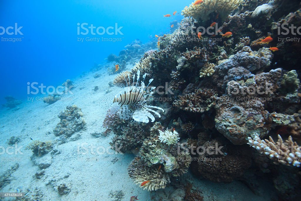 Lionfish Lionfish swimming along the coral reef in Egypt Animal Stock Photo