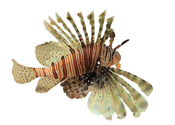 lionfish - lionfish stock photos and pictures