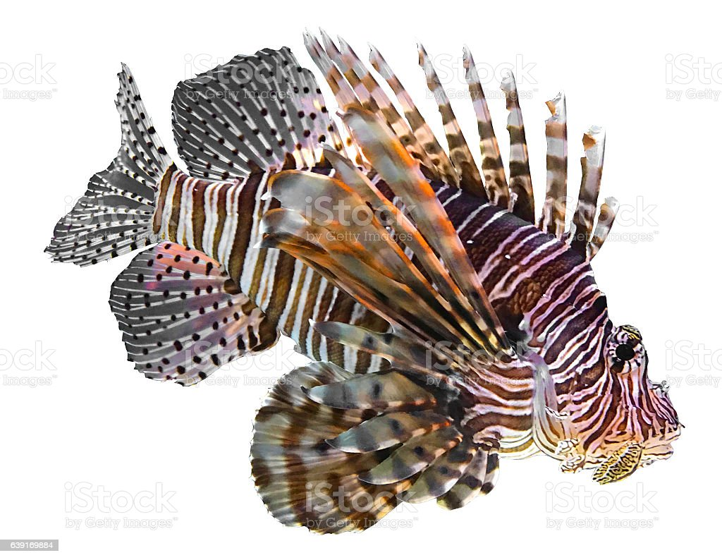 Lionfish stock photo