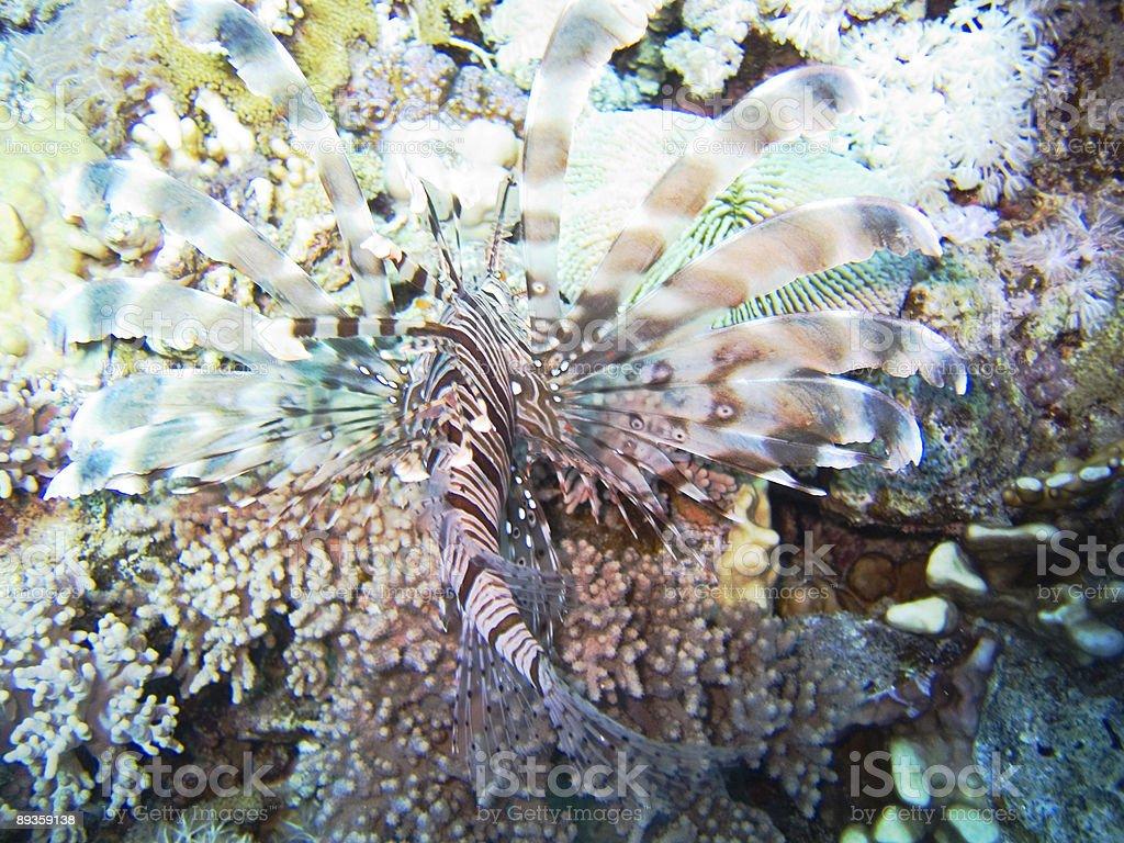 Lionfish royaltyfri bildbanksbilder
