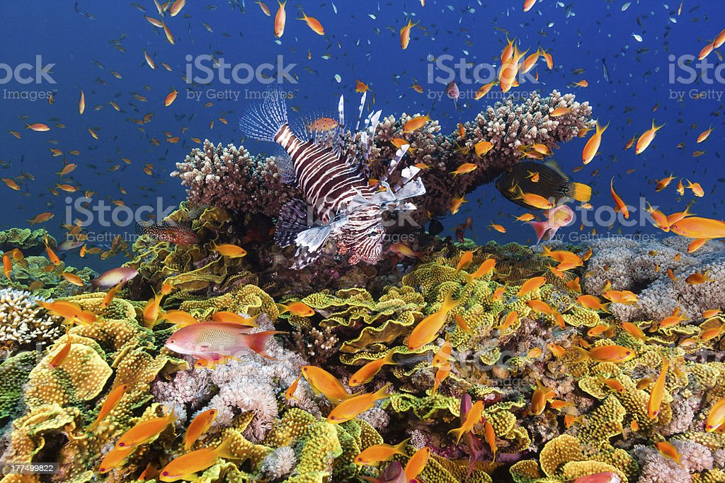 Lionfish surrounded by Anthias on Salad Coral stock photo