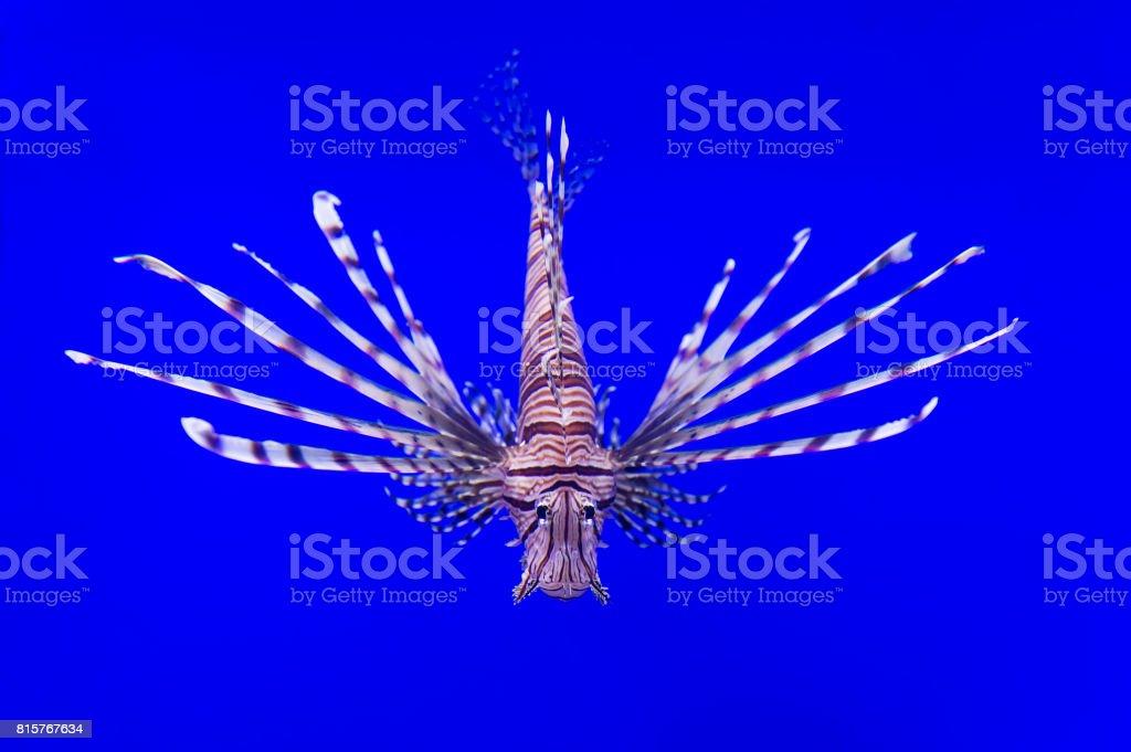 Lionfish swim underwater stock photo