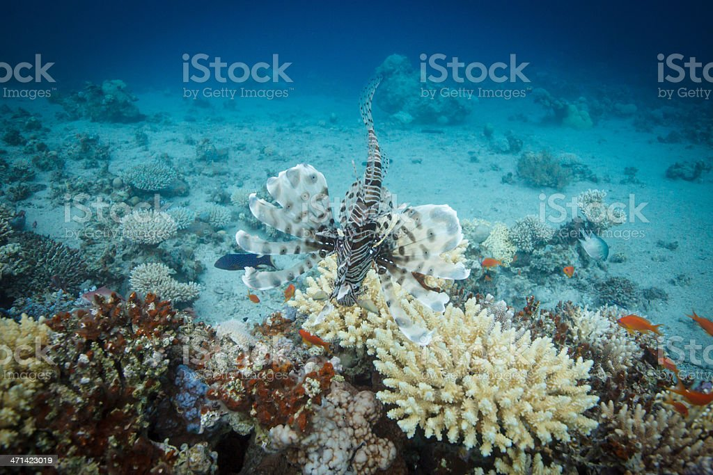 Lionfish swimming across the coral reef royalty-free stock photo