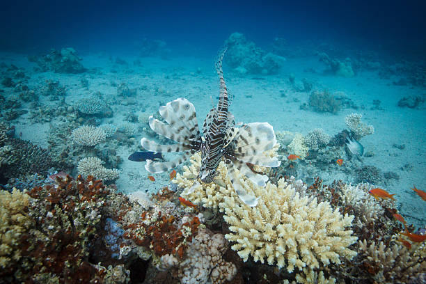 Lionfish swimming across the coral reef stock photo