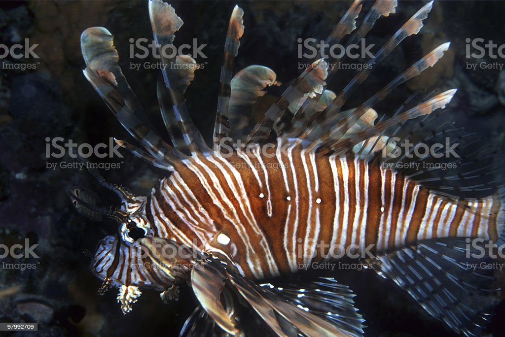 Lionfish swimming in reef royalty-free stock photo
