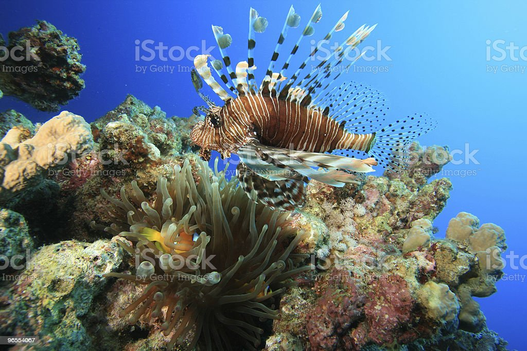 Lionfish swims over Anemone royalty-free stock photo