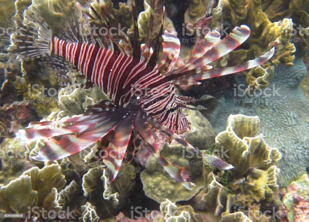 Lionfish Underwater in Costa Rica stock photo