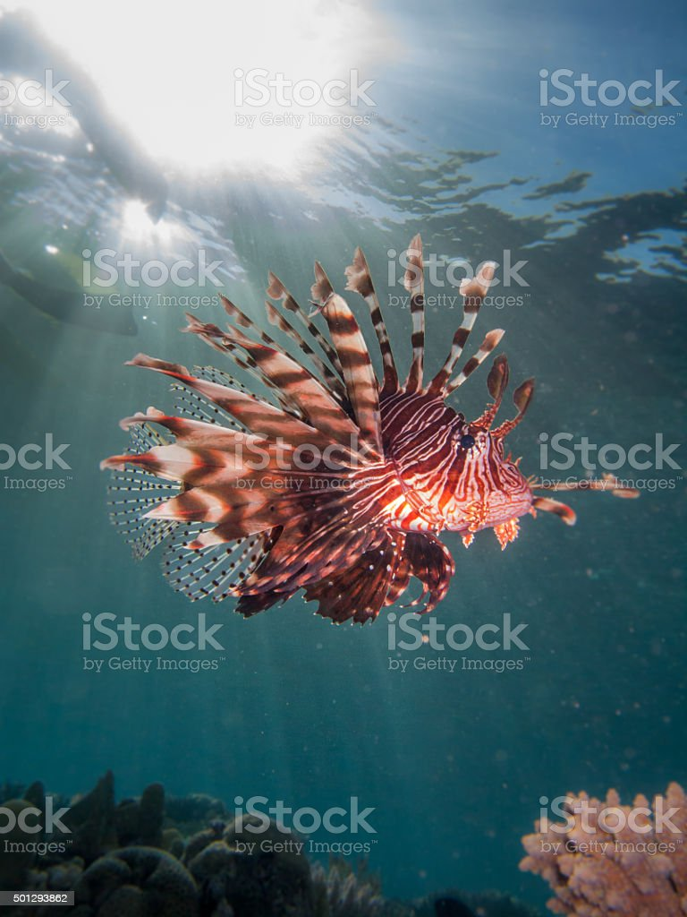 Lionfish with sun flare stock photo