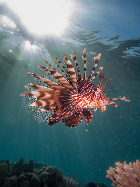 lionfish with sun flare - lionfish stock photos and pictures