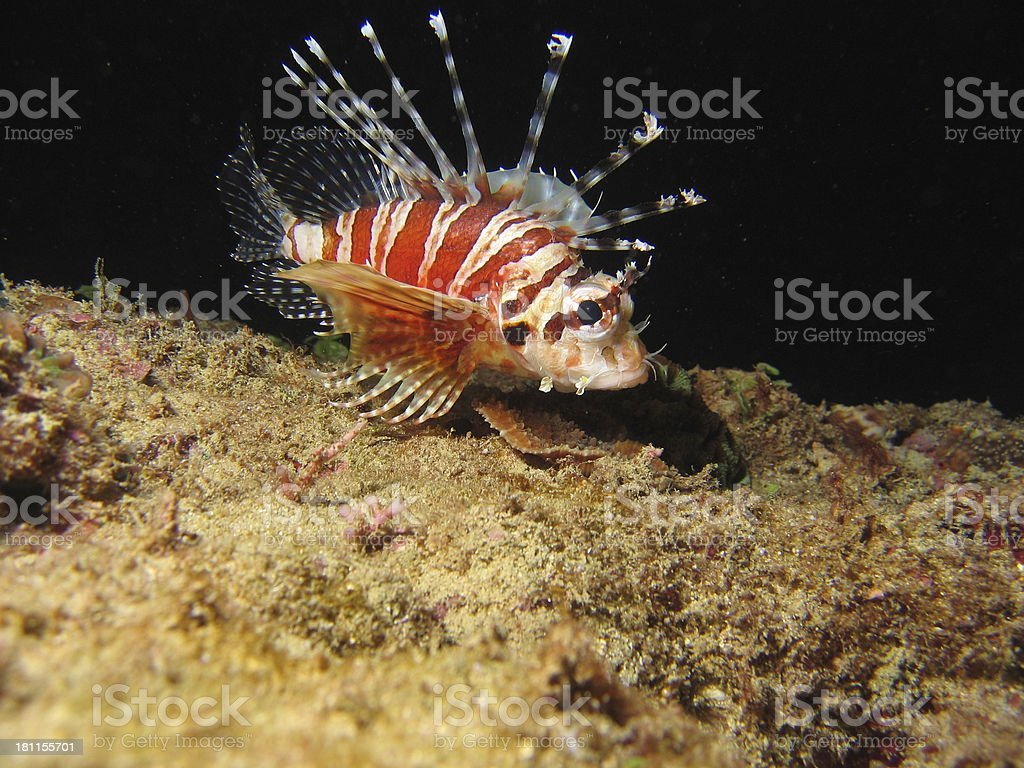 Lionfish Youngster at Night royalty-free stock photo