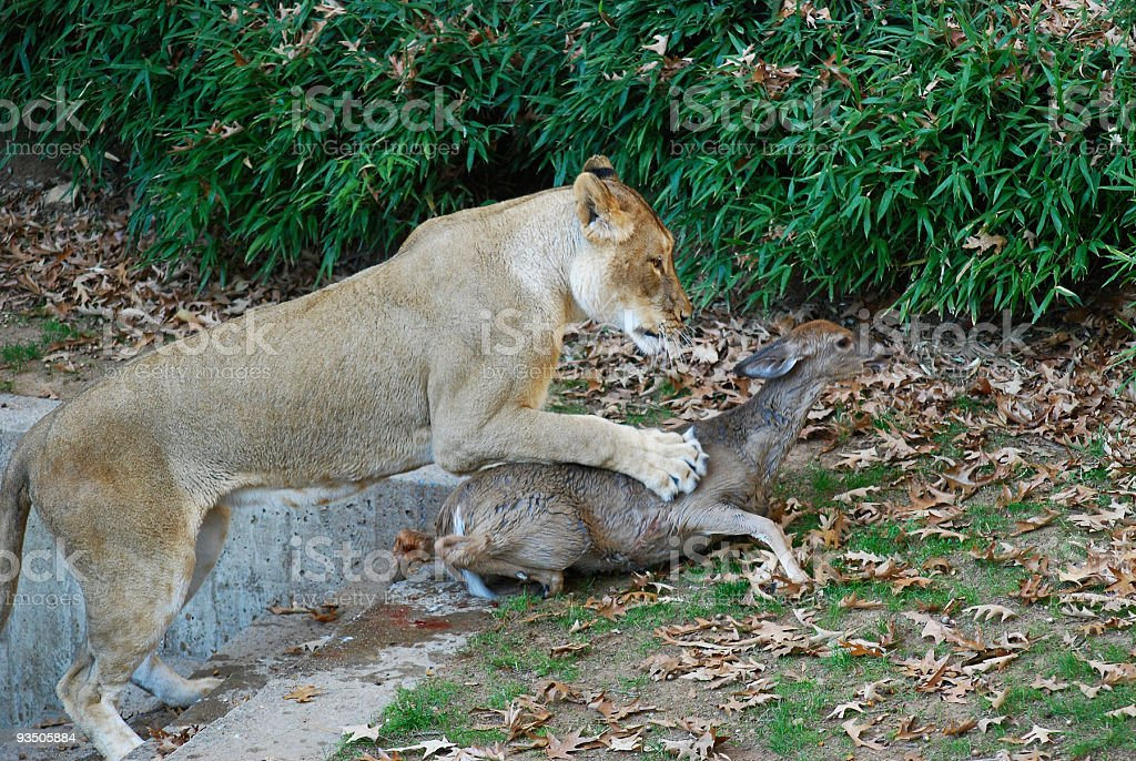 Lions And Deer Stock Photo - Download Image Now - iStock