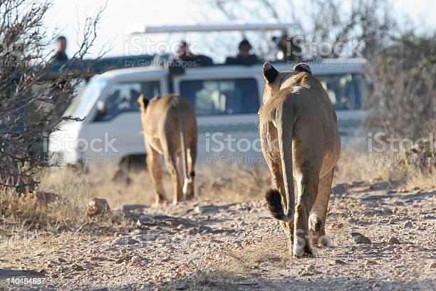 Lions and safari van picture id140464687?b=1&k=6&m=140464687&s=612x612&h=l50uc3t5akdpwdv2o113b78fy6tvy shz7ixpwxffie=