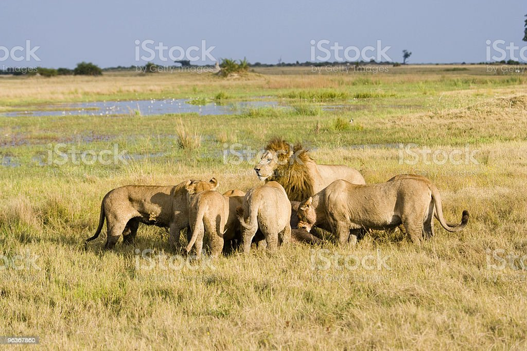 Lions at a Lunch royalty-free stock photo