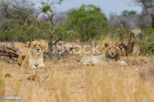 istock Lions at Kruger National Park South Africa - African safari 1145501542