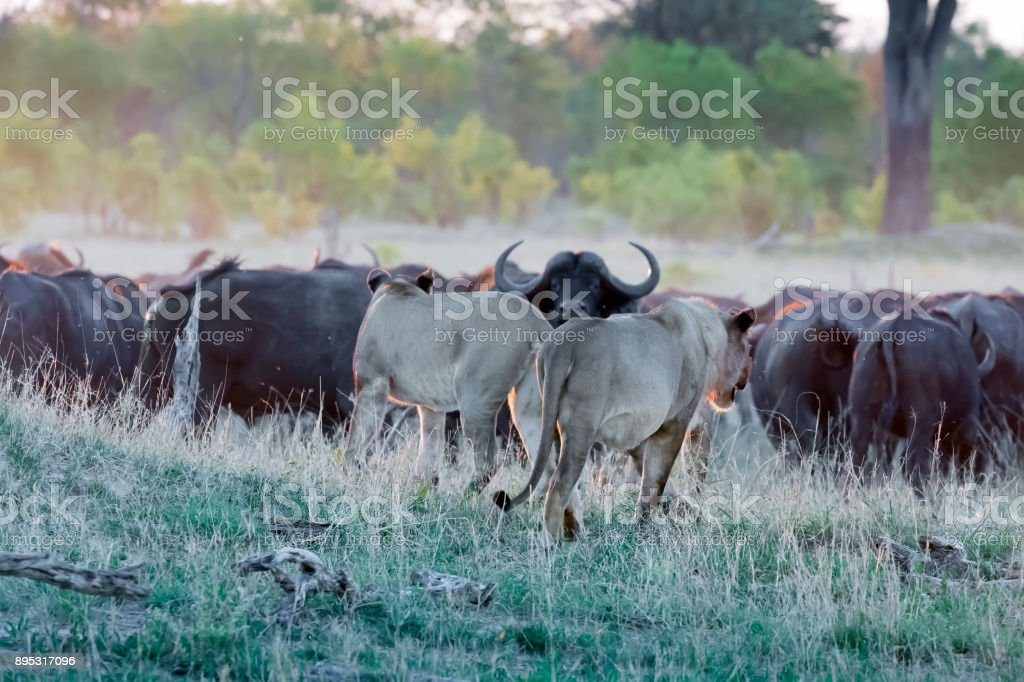 Lions Attack retreating Buffalos at Sunset in Hwange National Park, Zimbabwe stock photo