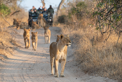 Tourists on an open safari vehicle viewing lions on a Safari in South Africa