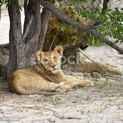 Lions cub resting under bush, lion male on background. Etosha national park,  Namibia