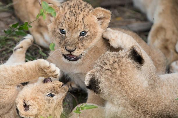 Lions cubs during play time picture id506158391?b=1&k=6&m=506158391&s=612x612&w=0&h=magnaoec2qjbc8ekkollxw8 f6lv5rega4zwaspx2uu=