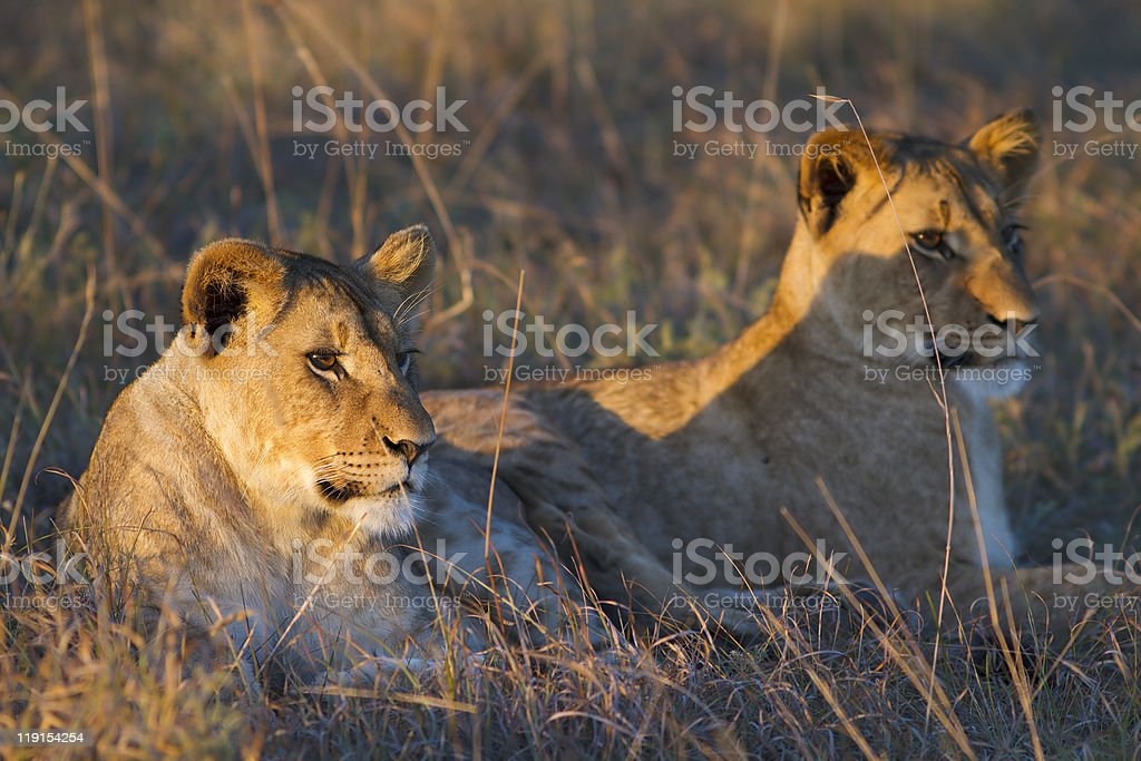 Lions cubs look on royalty-free stock photo