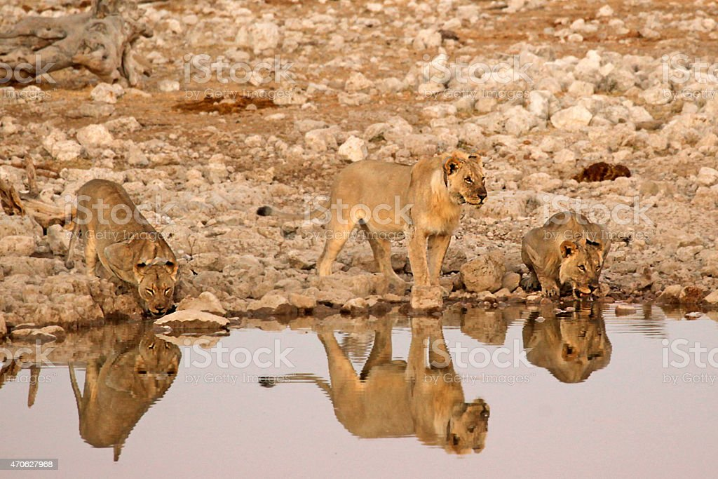 Lions Drinking at the Waterhole in Etosha NP, Namibia stock photo
