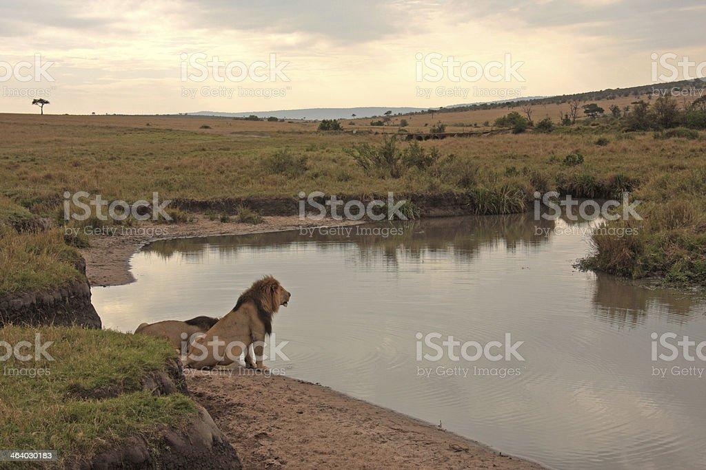 Lions drinking at waterside in Maasai Mara, Kenya stock photo