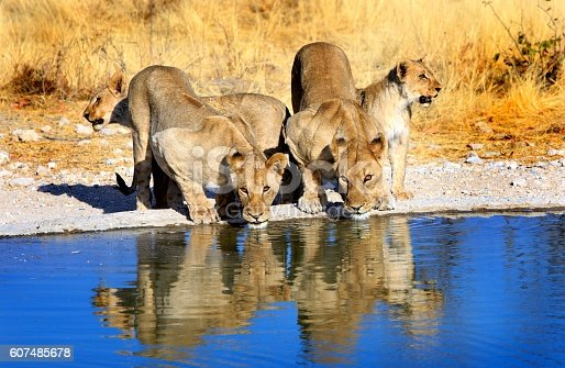 Pride of lions drinking from a waterhole in Etosha national park with early evening sunlight and lovely reflection in the water