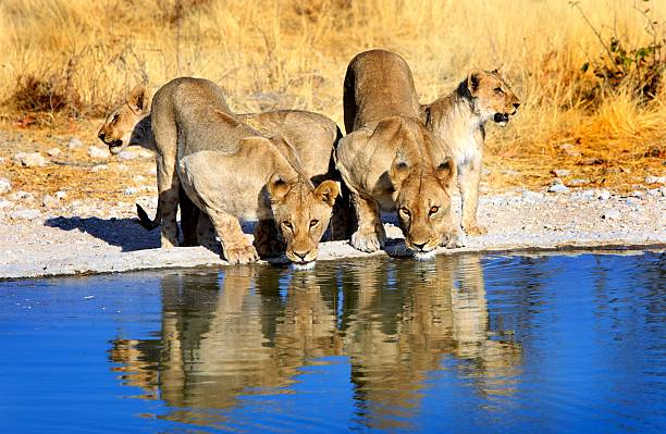 Lions drinking from a waterhole with good reflection Pride of lions drinking from a waterhole in Etosha national park with early evening sunlight and lovely reflection in the water namibia stock pictures, royalty-free photos & images