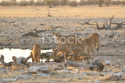 Lions at a waterhole in Etosha