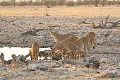 Lions at a waterhole in Etosha