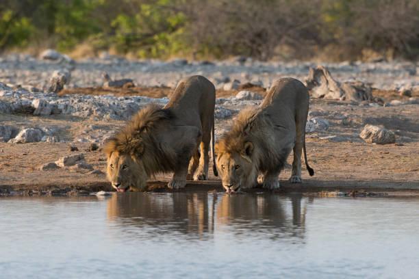 Lions drinking picture id871793056?b=1&k=6&m=871793056&s=612x612&w=0&h=zar6v0vfs cdlzw2ydv xhzvadvik8zgjmiclghe9o8=