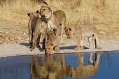 Pride of lions next to a waterhole with good water reflection and sunlight