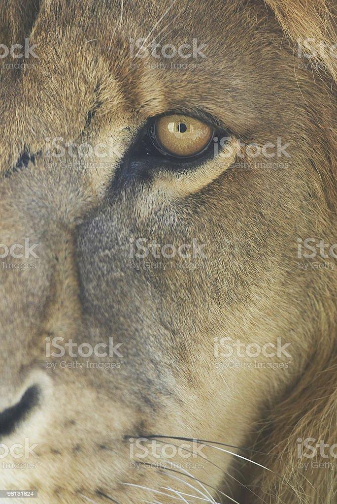 Lion's eye royalty-free stock photo