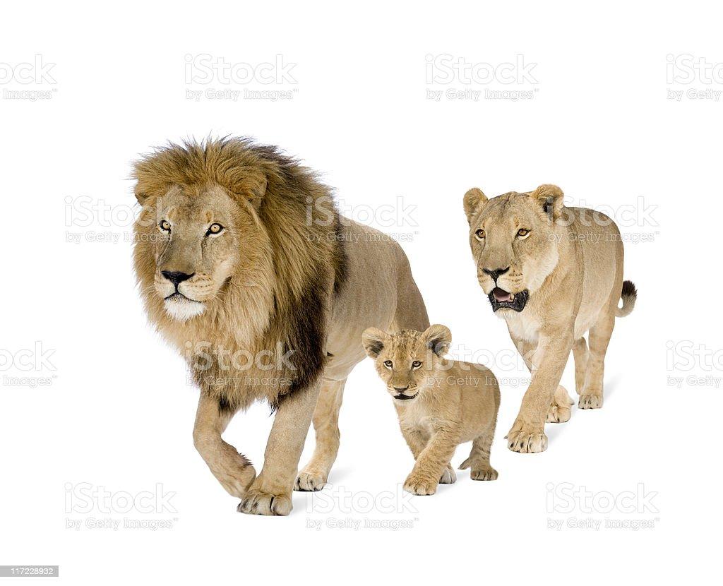 Lion's family stock photo