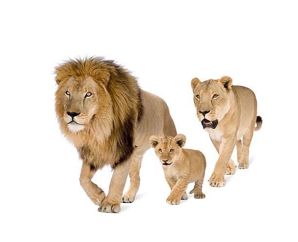 lion's family - lioness stock photos and pictures