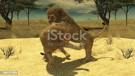 Lions fighting on a plain