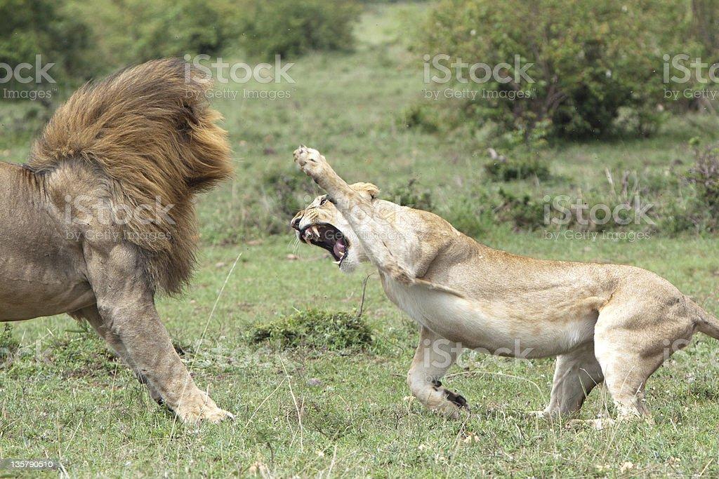 Lions fighting stock photo