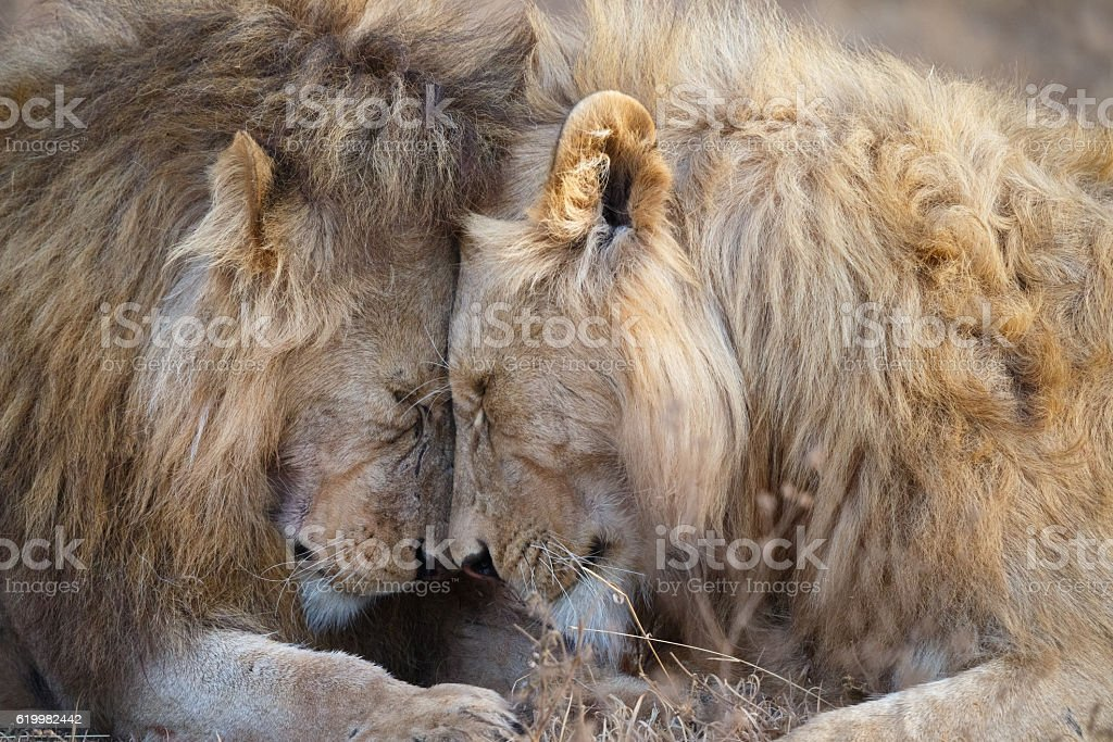 Lions Greeting in Ngorongoro Crater, Tanzania Africa stock photo