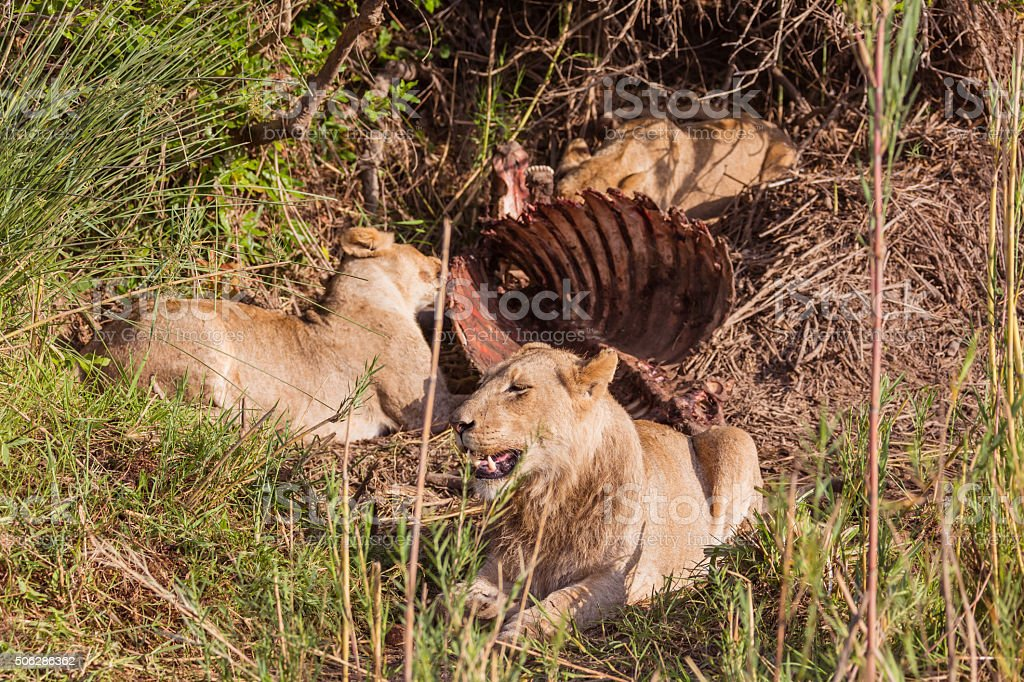 Lions having lunch stock photo